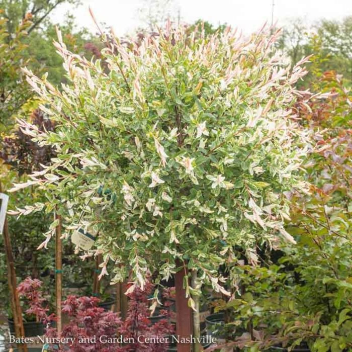 Topiary #5 PT Salix integra Flamingo/Dappled Willow Variegated Patio Tree