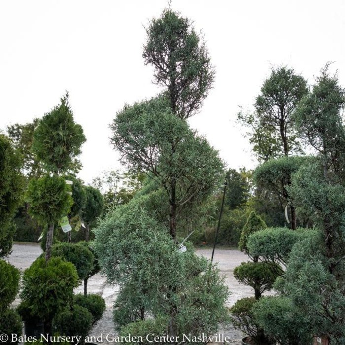 Topiary Spiral #15 Cupressus arizonica var. glabra Carolina Sapphire/Blue Arizona Cypress