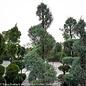 Topiary Spiral #15 Cupressus arizonica var. glabra Carolina Sapphire/Blue Arizona Cypress