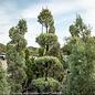 Topiary #15 4 TIER Cupressus arizonica var. glabra Carolina Sapphire/Blue Arizona Cypress