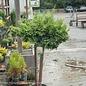 Topiary #5 Chamaecyparis obt  Kosteri/Koster's False Cypress