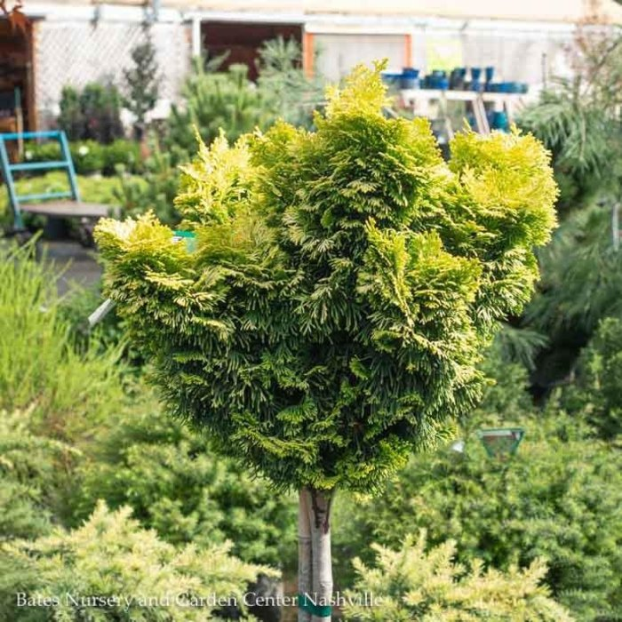 "Topiary #3 24"" Chamaecyparis obt Nana Lutea/Hinoki Falsecypress Dwarf Golden Patio Tree"