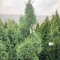 Topiary #10 Spiral Cupressus x 'Rutcup 1'/Guardian Indigo Cypress