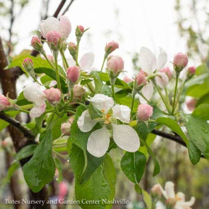 Topiary Edible #7 Malus/Apple Sparta/Akane/Honeycrisp 2-tier Espalier