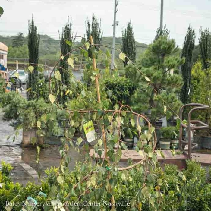 Topiary Serpentine #5 Betula Pendula Youngii/Young's Weeping Birch