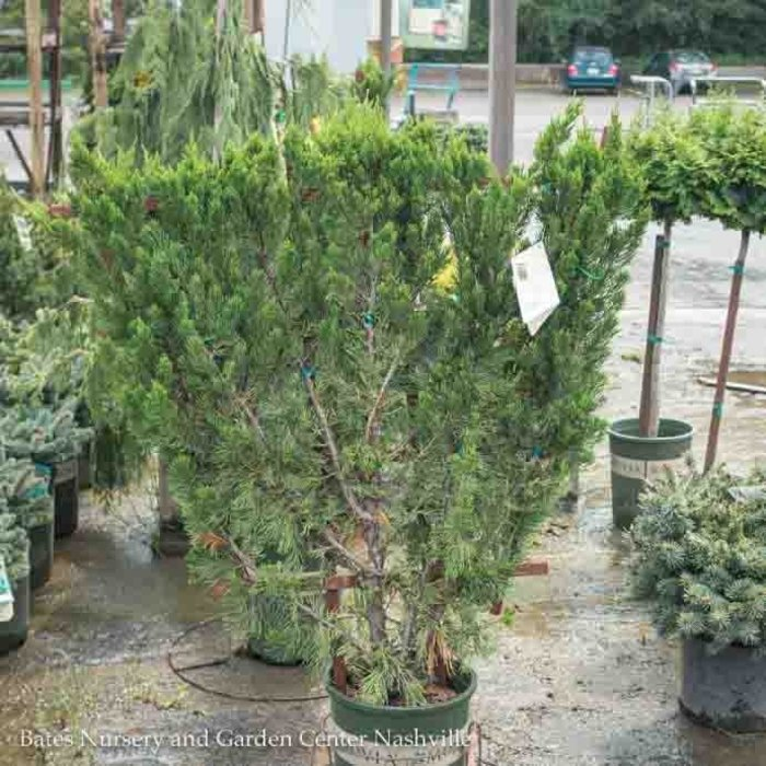 Topiary #5 Espalier Juniperus chin Torulosa/Hollywood Chinese Juniper Upright