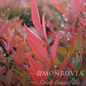 #2 Nandina d. Gulf Stream /Heavenly Bamboo