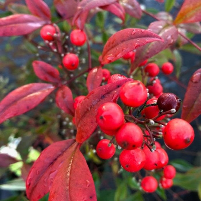 #3 Nandina domestica/Heavenly Bamboo