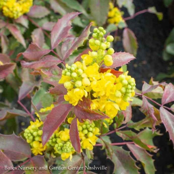 #5 Mahonia aquifolium/Oregon Grape Holly