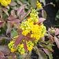 #5 Mahonia aquifolium/Oregon Grape Holly