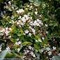 #3 Abelia x Rose Creek