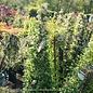 #5 STK Pyracantha aug Yukon Belle/Firethorn