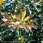 #3 Cleyera Bronze Beauty/Ternstroemia