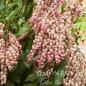 #5 Pieris japonica Valley Rose/Pink