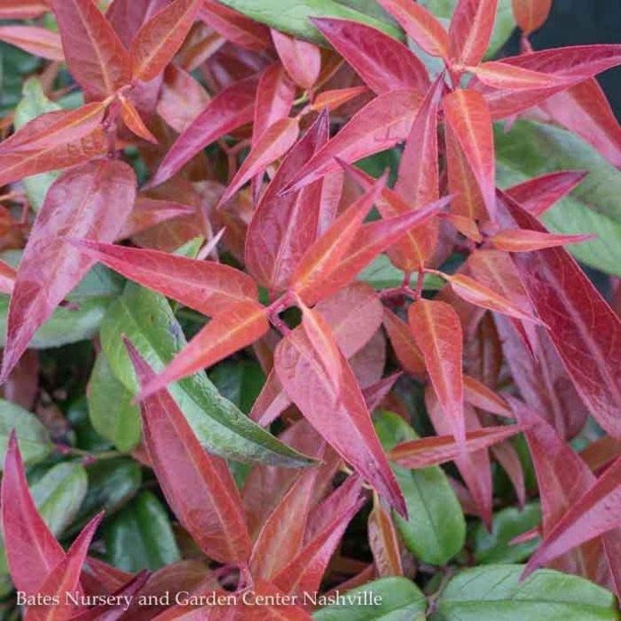 #1 Leucothoe fontanesiana Scarletta/Drooping