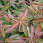 #2 Leucothoe axillaris Rejoyce/Coastal