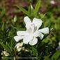 #3 Gardenia jas Frostproof/Hardy No Warranty