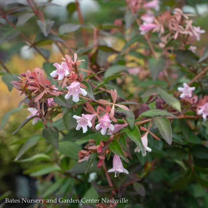 #2 Abelia Rosy Charm
