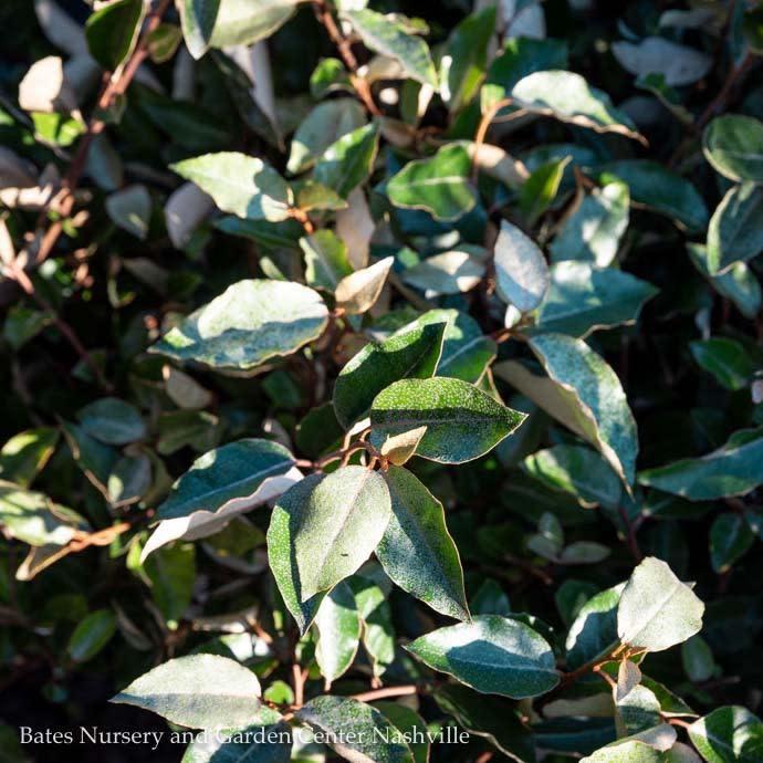 #7 Elaeagnus x Ebbingei/Silverberry