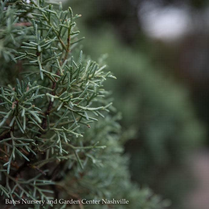 #15 Cupressus arizonica var. glabra Carolina Sapphire/Blue Arizona Cypress