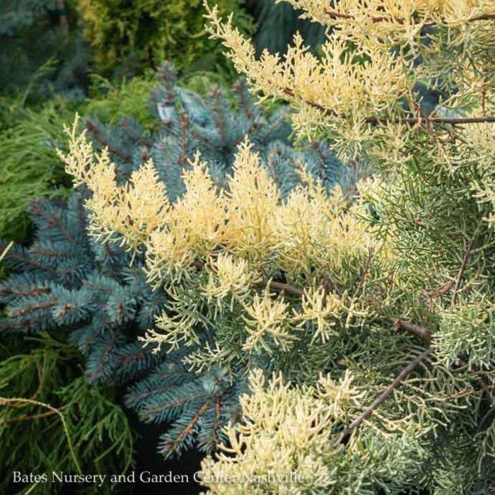 #6 Cupressus arizonica Aurea/Golden Arizona Cypress