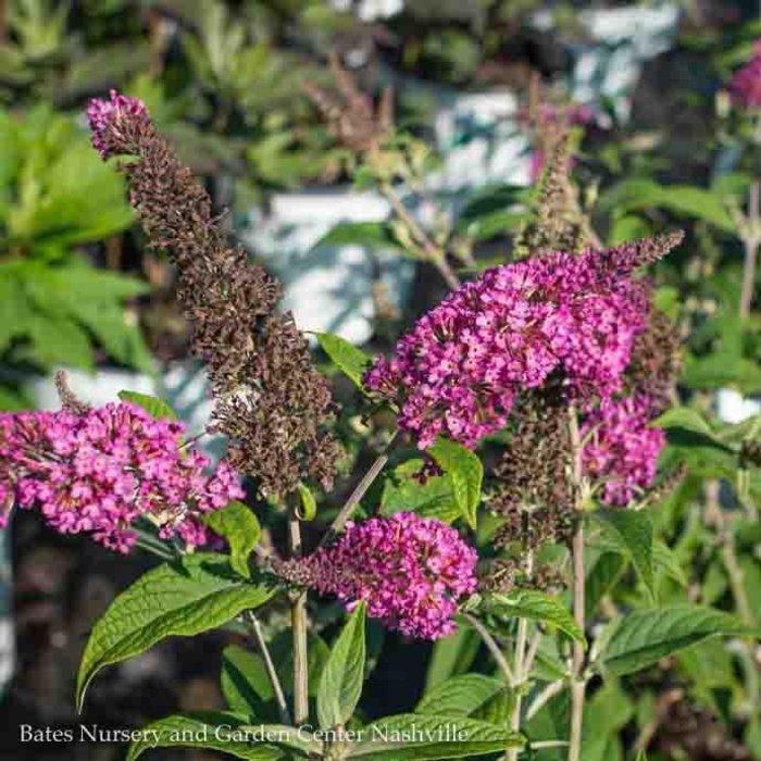 #2s Buddleia Miss Ruby/Butterfly Bush
