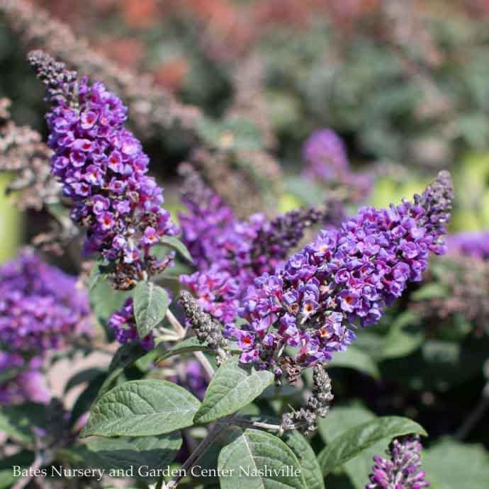 #3 Buddleia Lo & Behold Blue Chip Jr./Dwarf Butterfly Bush