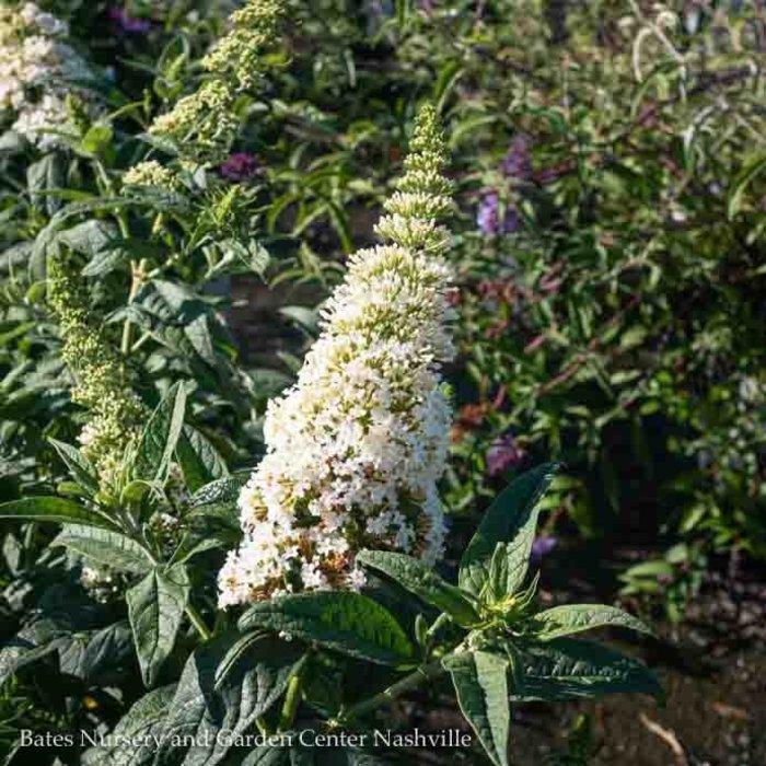 #2s Buddleia Pugster White/Dwarf Butterfly Bush
