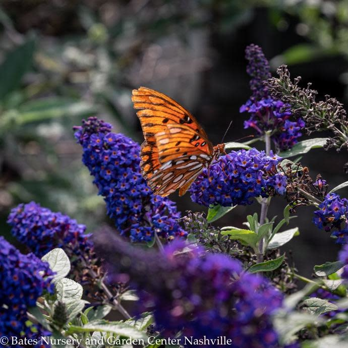 #2s Buddleia Pugster Blue/Dwarf Butterfly Bush
