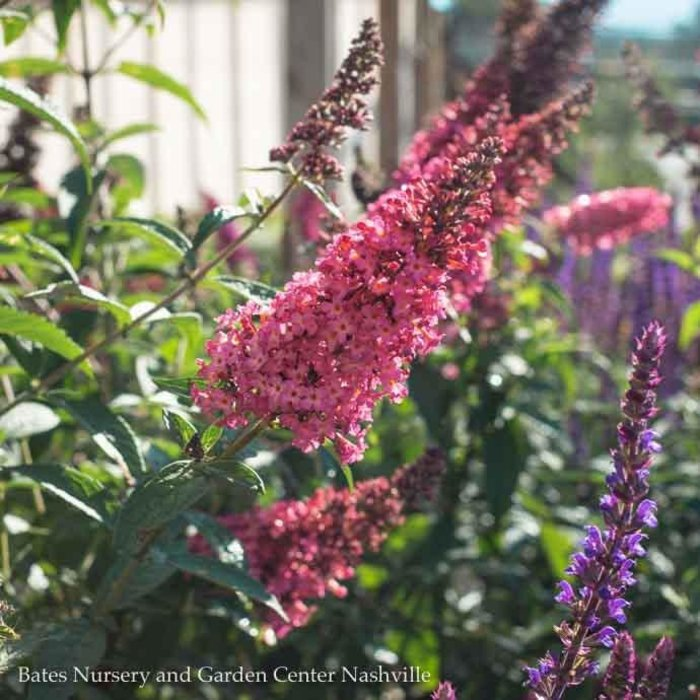 #3 Buddleia Prince Charming/Butterfly Bush