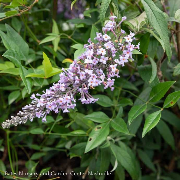 #3 Buddleia Grand Cascade/Butterfly Bush Purple