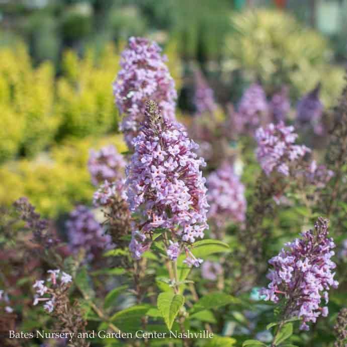 #2 Buddleia True Blue/Butterfly Bush