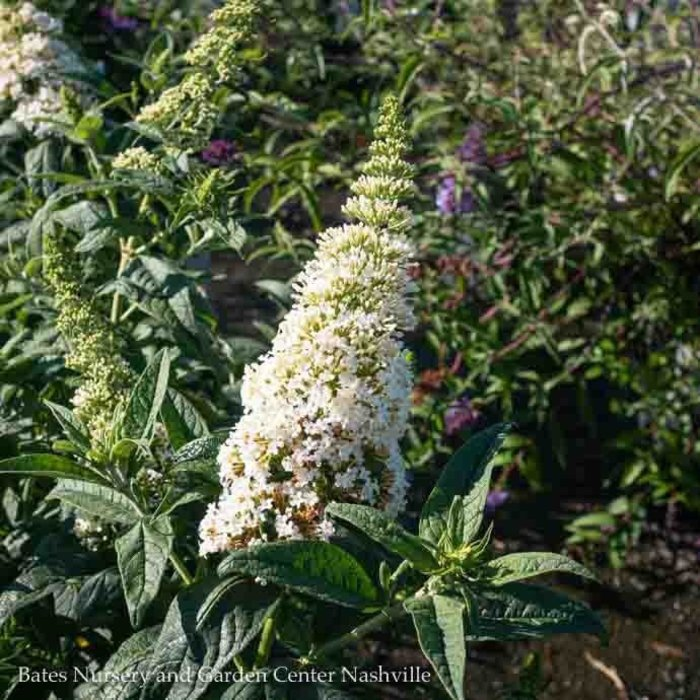 #3 Buddleia Pugster White/Butterfly Bush