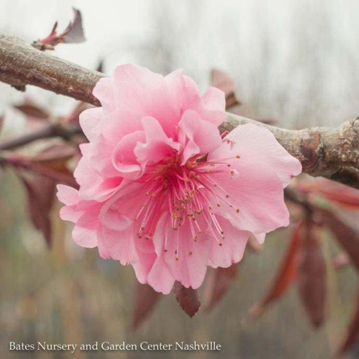 #7 Prunus Red/Weeping Peach