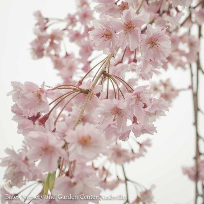 #15 Prunus sub. 'Pendula'/Pink Weeping Higan Cherry