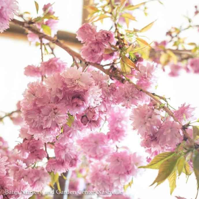 #5 Prunus x 'Extrazam'/Weeping Extraordinaire Cherry