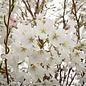 #15 Prunus x yedoensis/Yoshino Flowering Cherry