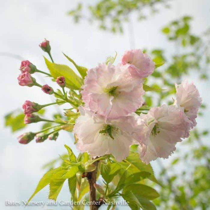 #5 Prunus s. Taizo/ Angel's Blush/Flowering Cherry