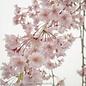 #7 Prunus sub. 'Pendula'/Pink Weeping Higan Cherry