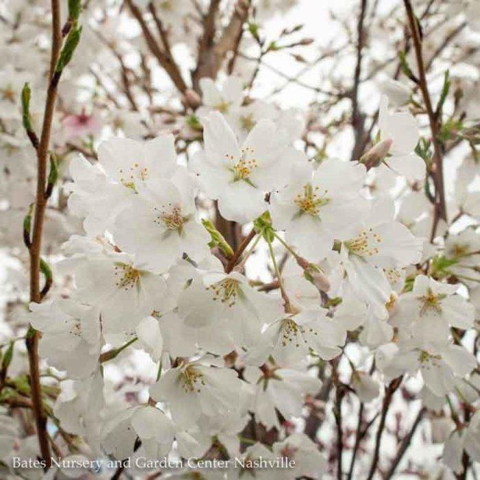 #5 Prunus x yedoensis 'Yoshino'/Yoshino Flowering Cherry
