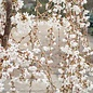 #10 Prunus x 'Snow Fountain'/White Weeping Cherry
