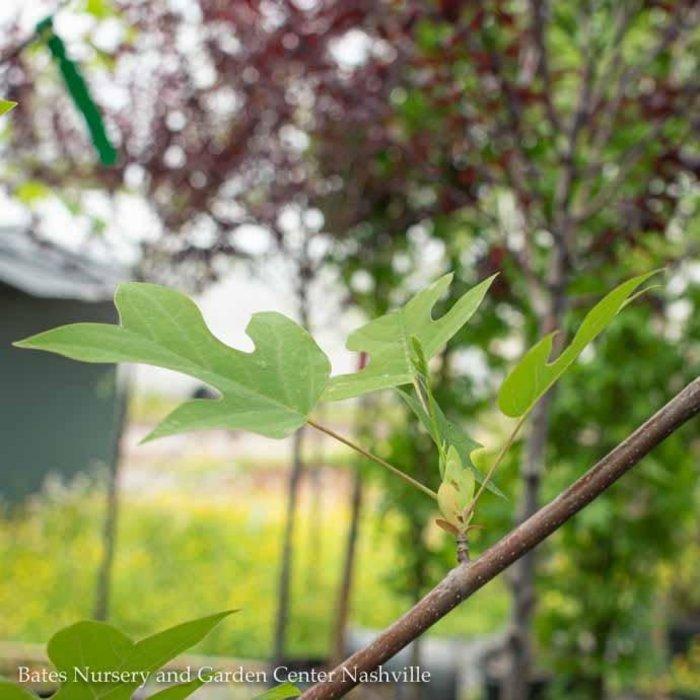 2.5 Caliper Liriodendron tulipifera/Tulip Poplar
