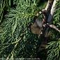 #10 Chamaecyparis nootka Glauca Pendula/Weeping Alaskan Cypress