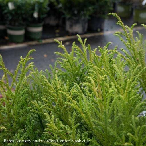 #7 Cryptomeria j. Gyokuryu/Japanese False Cedar