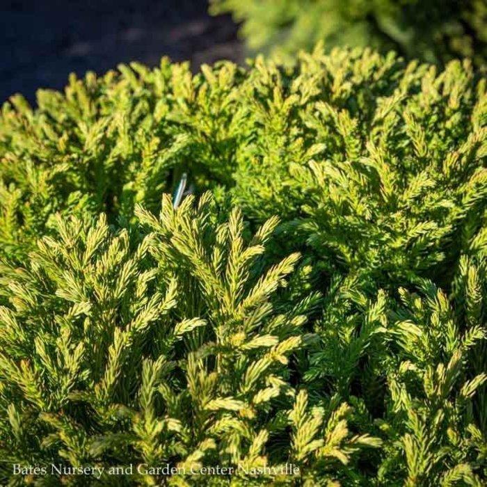 #3 Cryptomeria j. Globosa Nana/Dwarf Globe Japanese False Cedar