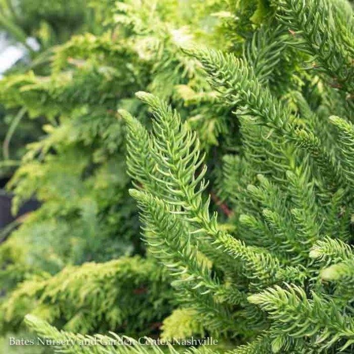 #6 Cryptomeria j Dinger/japanese False Cedar