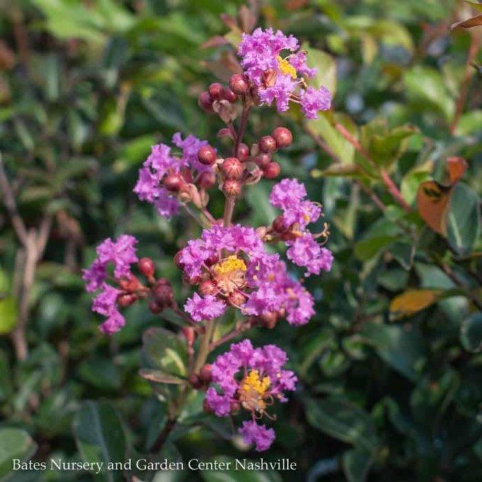 #5 Lagerstroemia x Zuni/Crape Myrtle Semi-dwarf Medium Lavender