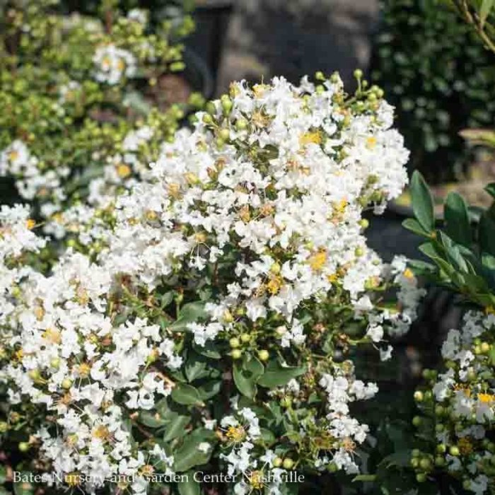 #2 Lagerstroemia /Crape Myrtle Assorted