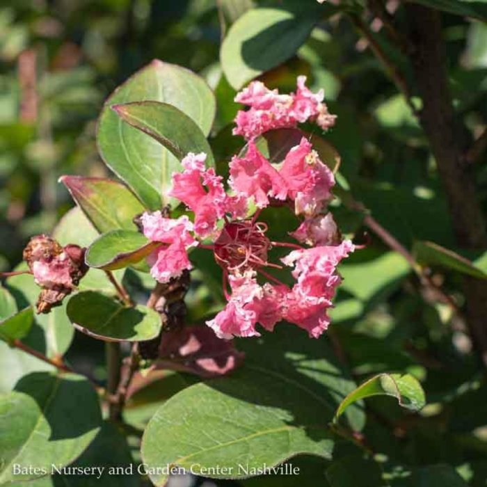 #5 Lagerstroemia Peppermint Lace/Crape Myrtle Pink & White