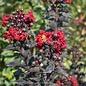 #7 Lagerstroemia Ebony Flame/Crape Myrtle Semi Dwarf Dark-red